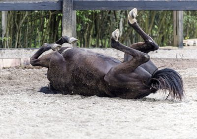 Black Horse rolling on the sand in paddock.