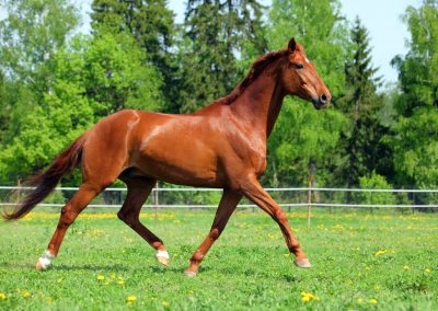 Purebred horse galloping across a green field